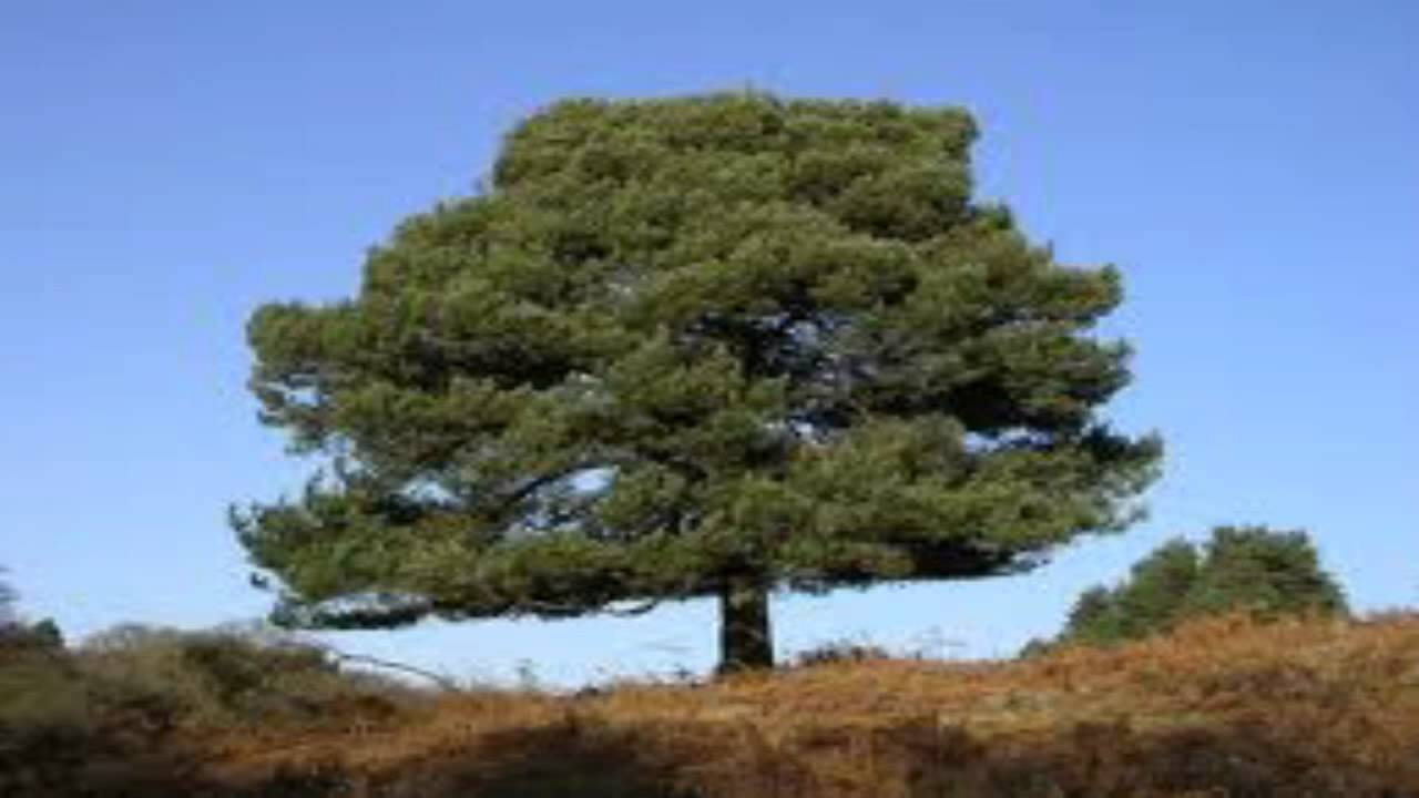 Yellow Pine Tree Yellow Pine Trees For Sale