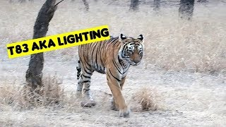 Ranthambore tiger Sighting   T83 Lighting