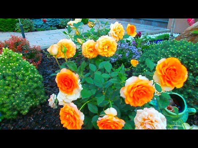 Розы для Доброго утра! Всем любви и хорошего дня!!!