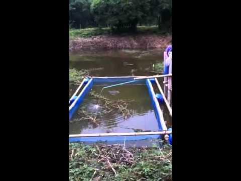 การเลี้ยงปลาดุกในกระชัง