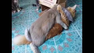 Bunny tries to mate with cat