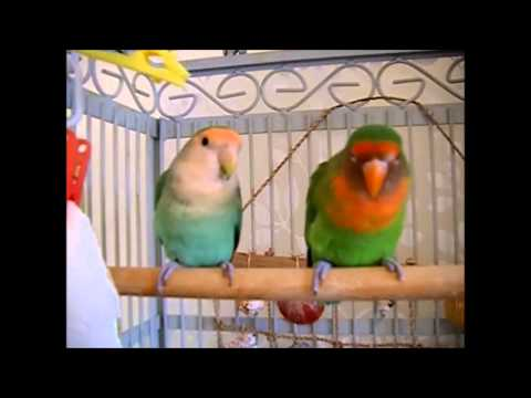 Lovebirds In Training video