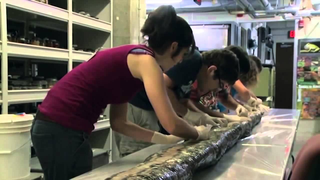 Python Foot 17-foot Burmese Python in
