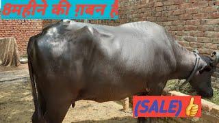 8Month ki Gaban hai Buffalo (Sale)👍👌8727097095