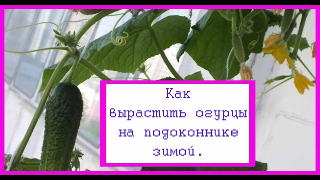Огурец на подоконнике уход и выращивание 290