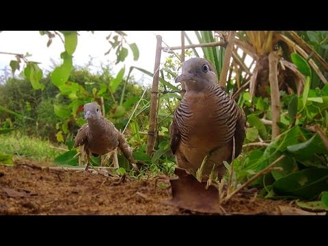 Awesome Zebra dove Live Bird Trap - The Best Bird Traps That Work 100%