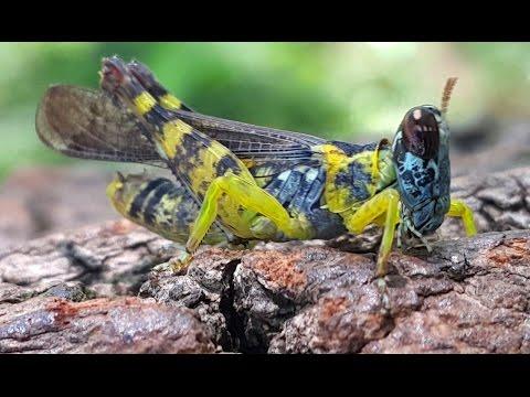 cavalletta bello insetto mondiale cavallette  cava...