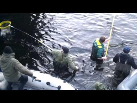 ловля корюшки на реках лен обл