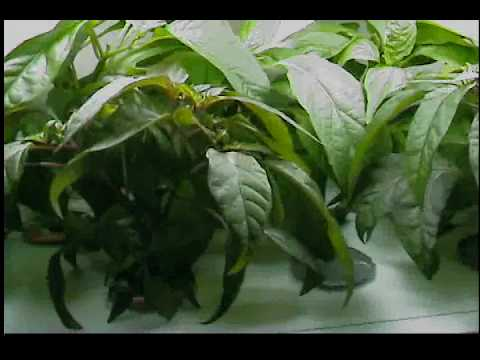 Aerogarden Chili Pepper Seed kit and Other Various Seedlings Video Part 5