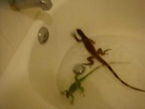 Basilisk vs Dragon Basilisk,water Dragon,green