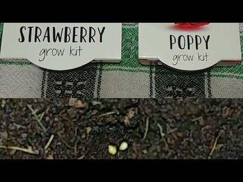 Poppy and strawberry grow kits.