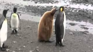 King Penguin Chicks in a socially divided colony