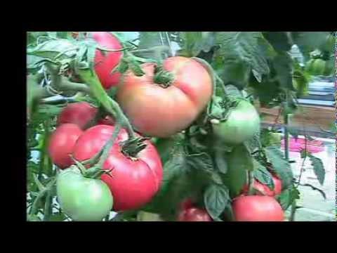 Kratky Method Dwc Compost Tea Hydroponics  6  Hydroponic Tomatoes
