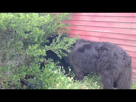 Giant newfie and a puppy play hide and seek