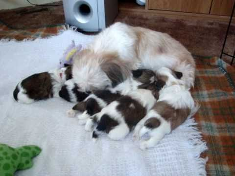 Week old shih tzu puppies crawling youtube