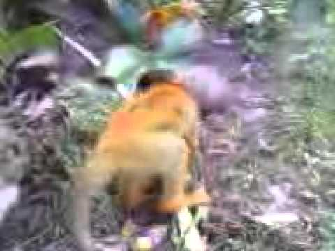 Polvo deL Mono y la gallina costa rica