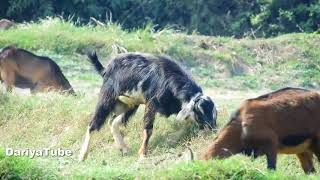 Today Baby Cute Goat Find Successful | Funny Baby Cute Video