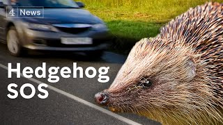 Why Britain's hedgehogs are in serious trouble