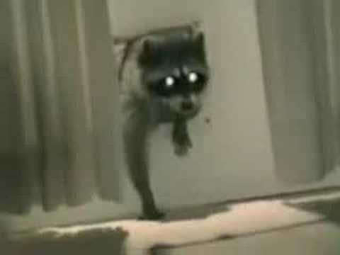 Racoon stealing carpet