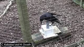 Watch a raven use a rock to get a treat | Science News