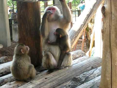 旭山動物園のニホンザル・1