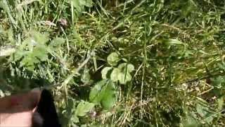 Hemlock Cow Parsley and Hog Weed and Giant Hog or Bog Weed