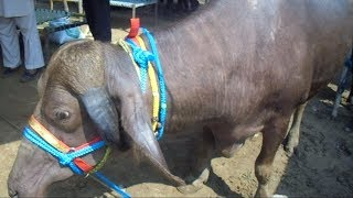 Unique Meeni buffalo animal video with high quality buffalo milk production