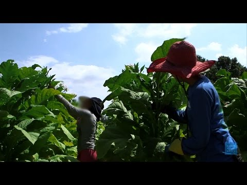 Big Tobacco's Child Workers: Young Laborers Endure Health Risks, Harsh Conditions on U.S. Farms
