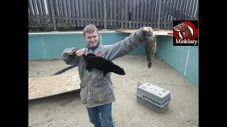 My pet mink Moⁿchushage catching a fish