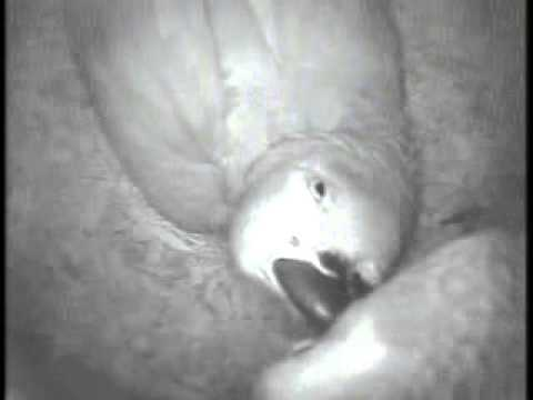 African Grey Pair #3 Incubation videos