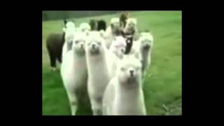 Star Wars Llamas (alpacas) - Darth Vader Imperial March