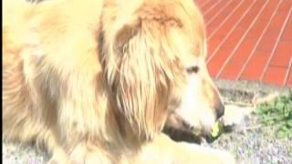ゴールデン・6歳・オス・大分県の自宅の番犬、猪・鹿・狸・から守る