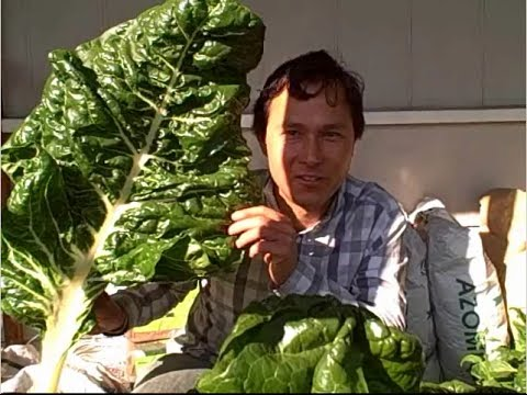 How I Grew 10x Larger Swiss Chard than I Have Ever Seen