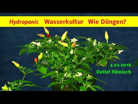 Hydroponic Chili und Tomate in der Wasserkultur, wie wird gedüngt