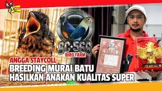 KISAH SUKSES : BREEDING MURAI BATU HASILKAN ANAKAN KUALITAS SUPER, SC*566 ANGGA STAYCOLL