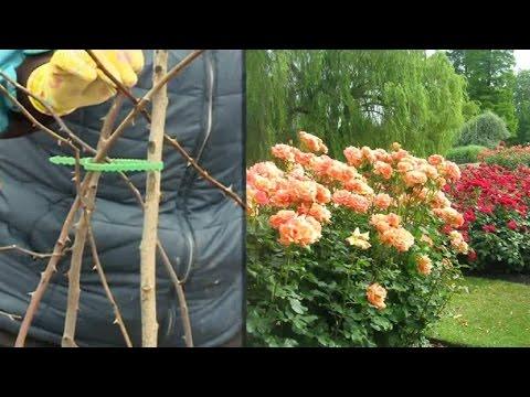 Секреты выращивания роз на даче 16