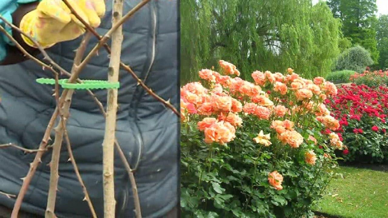 Уход за розами после зимовки - Удачный проект - Интер