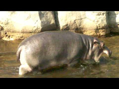王子動物園 カバの親子