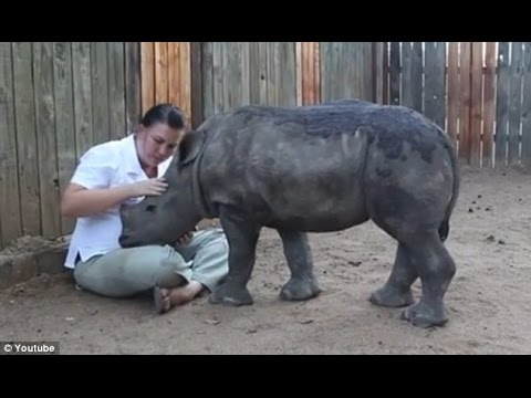 Baby Rhino named Gertjie Is Glued to Keeper After Seeing Poachers Kill Mother