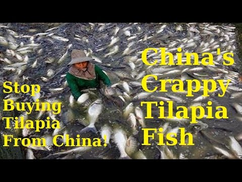 China's Crappy Tilapia Fish  The Ultimate Rant For Americans To Stop Buying Tilapia From China