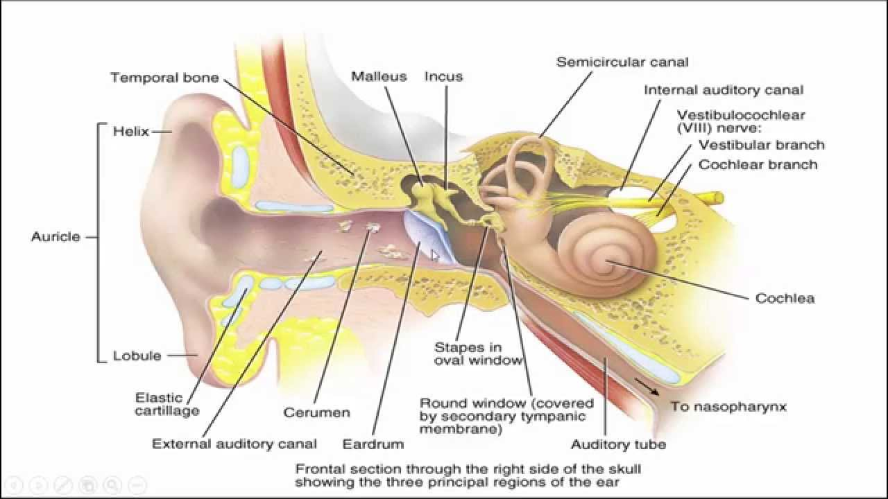 Middle ear anatomy images