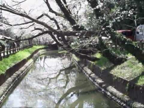 Cherry tree blossom-SHIF
