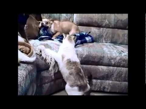 Bulldog vs gatp