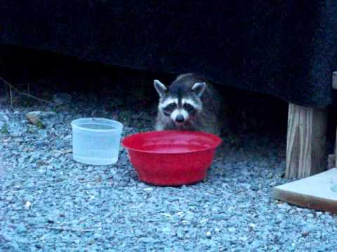 Raccoon eating