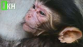 You will cry when see video,Mum Nursing Newborn Baby Monkey No More Swelling The Face