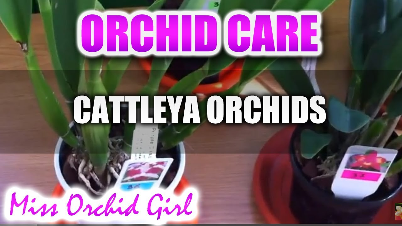 Care of Cattleya Orchids Orchid Care Cattleya Orchids