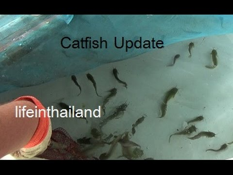 Catfish (Clarias batrachus) Farm Update 17, We now have a 2nd tank.