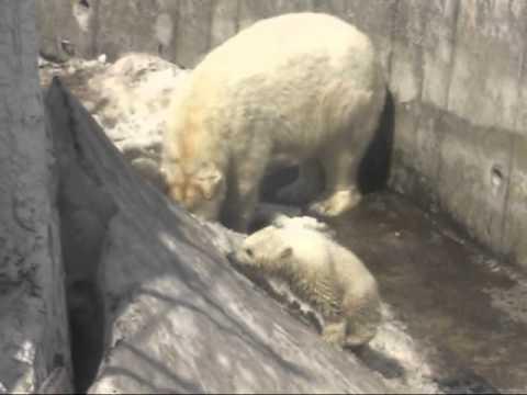 円山動物園ホッキョクグマ モートで遊ぶララと赤ちゃん 2010.4.11