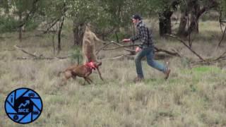 ATN Kangaroo VS Man Beat Down