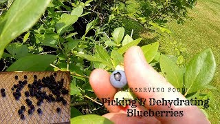 Blueberry Picking | Dehydrating Blueberries | Preserving Food 2018
